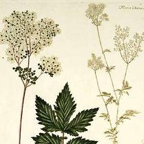 Herbalista - Mjødurt - Filipendula ulmar