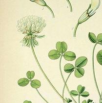 Herbalista - Hvitkløver - Botanisk ill.