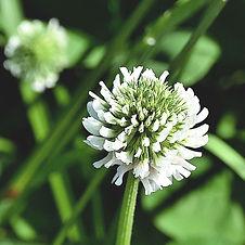 white-clover-4285415_1920_edited.jpg
