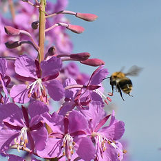bumblebee-4345444_1920.jpg