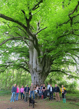 Guided walk party at the beech tree