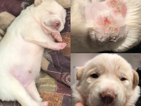 Do you remember our injured puppy, Lexi from Lucy's Grey's Anatomy Litter?