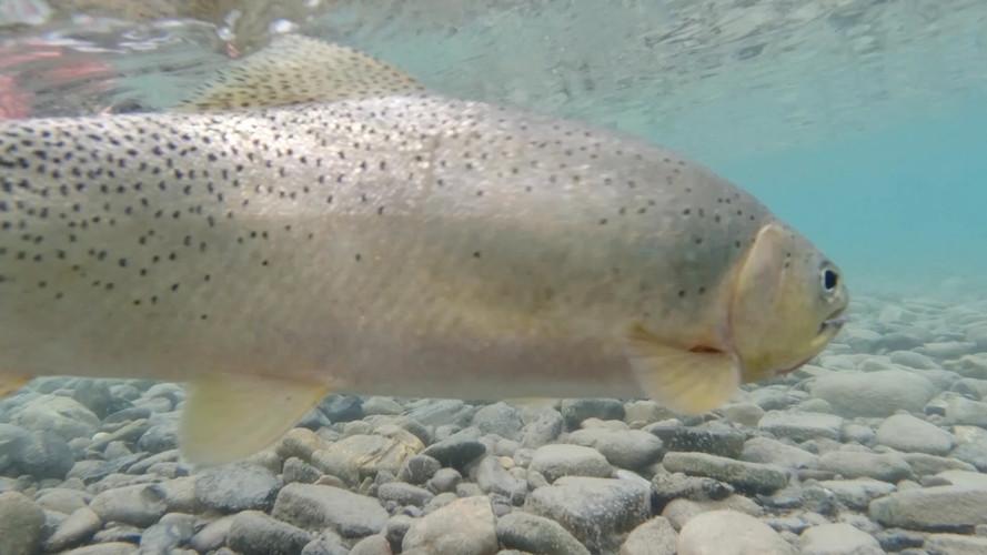 Fly Fishing British Columbia Bull River