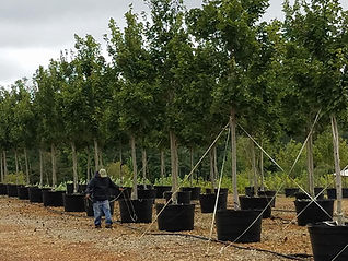 100G Maples - Tree Farm.jpg