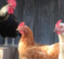 hühner.jpg