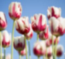 tulpen 2.jpg