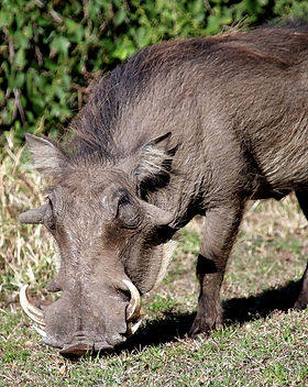 boar-hunting-hawaii.jpg