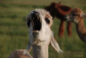 Mescalero Yawn 3