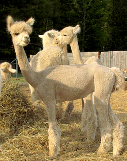 Post Shearing 2015