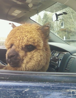 Prudence on his way home in the front of the Durango, sitting on my lap.