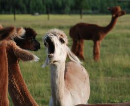 Large Yawn (Mescalero)