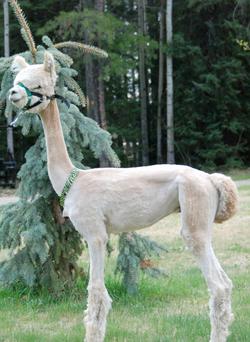 Bocelli, post-shearing 2013