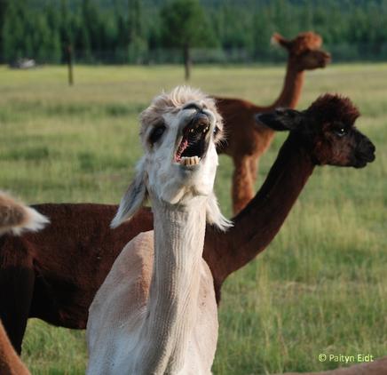 Mescalero Yawn 2