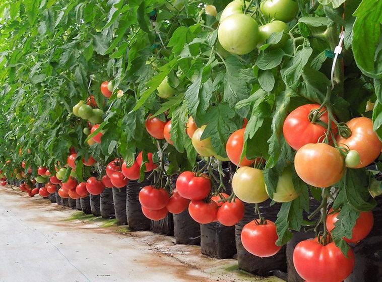 tomato row_edited.jpg