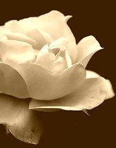 rose_yellow_flower_blue_background_macro