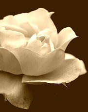 rose_yellow_flower_blue_background_macro