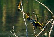 Wildlife in the Allpahuayo-Mishana National Reserve - Birdspotting in the Amazon Rainforest - Noya Rao Dietas & Ayahuasca Healing Retreats