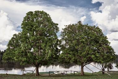 Trees ath Trees at the Mishana Community - Home of Casa Galactica Ayahuasca Retreats & Noya Rao Dietasthe Mishana Community - Home o