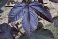 Piñon Colorado (Jatropha gossypiifolia) Shipibo Plant Treatment - Ayahuasca Healing Retreat & Noya Rao Dietas Casa Galactica