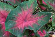 One of the Beautiful Plants of the Amazon Rainforest - Ayahuasca Plant Spirit Healing Retreats & Noya Rao Initiation Dietas - Chamisal Retreat Cetner