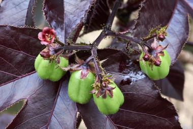 Piñon Colorado (Jatropha gossypiifolia) Medicinal Plant Shipibo Ayahuasca Healing Retreat & Noya Rao Dietas - Casa Galactica