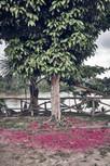 Pomorosa Tree at Ayahuasca Retreat in Peru - Casa Galactica