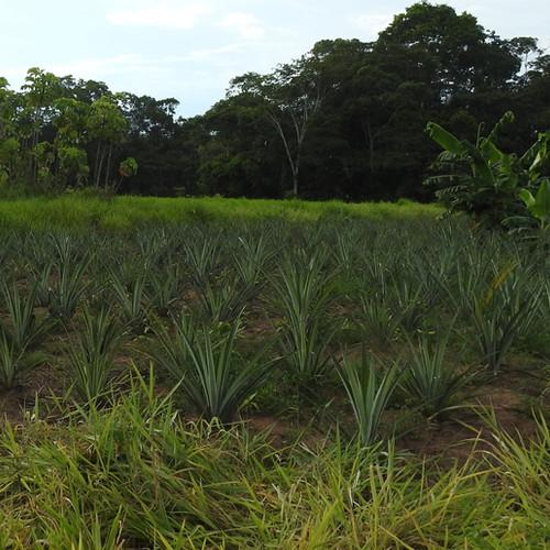 500 Pineapple Plants
