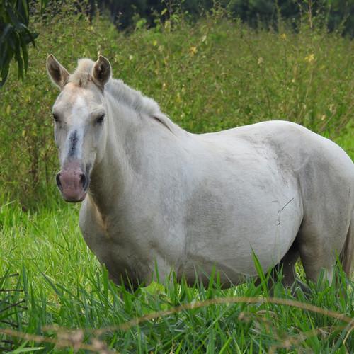 Local white horse