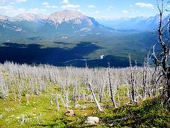 WBP Regeneration at Buller Creek, Spray Valley Provincial Park.JPG