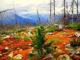Whitebark Pine regeneration at Moose Lake Burn, Mount Robson Provincial Park-cai.JPG