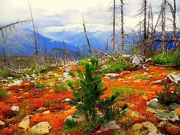 Whitebark Pine regeneration at Moose Lake Burn, Mount Robson Provincial Park-cai.JPG