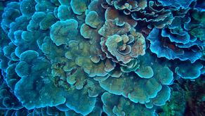 Los corales sobreviven a las olas calor con ayuda de las bacterias probióticas