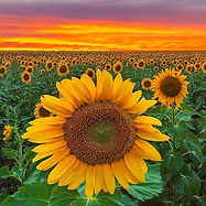 Sunflowers are coming forward as the nex