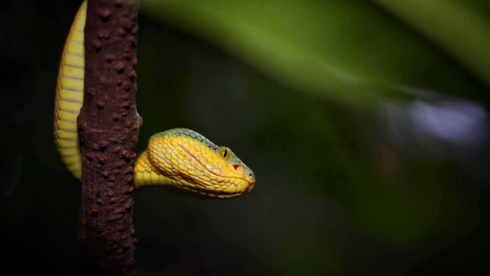 Bmaboo Pit Viper