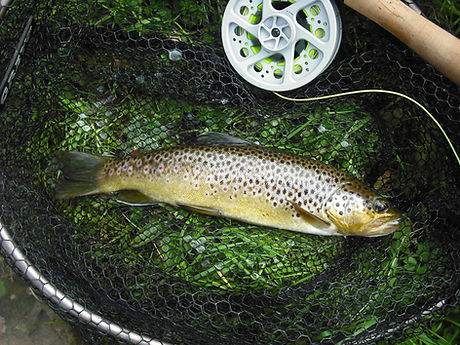 River Braid. Brown Trout_