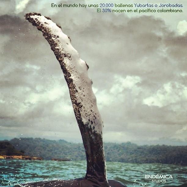 Existen 20.000 ballenas yubartas o jorobadas en el planeta