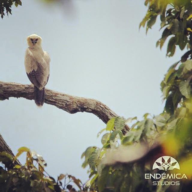Polluelo juvenil de Águila arpía (Harpia harpyja) durante el rodaje de nuestro documental en Palmarí