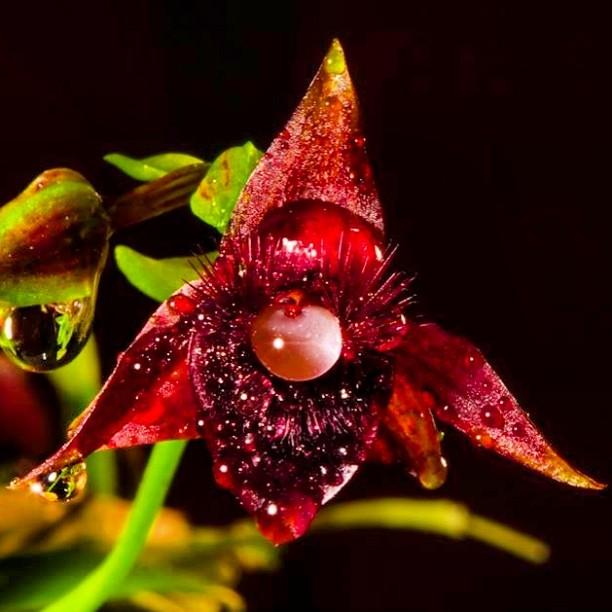Telipogon falcatus - especie de orquídea endémica de las zonas alto andinas de la cordillera orienta
