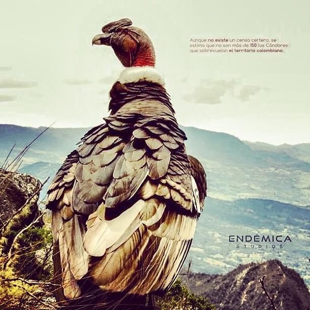 Se estima que en Colombia no existen mas de 150 cóndores