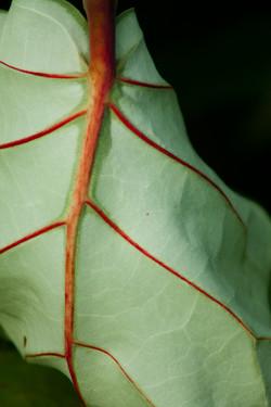 Red Vein
