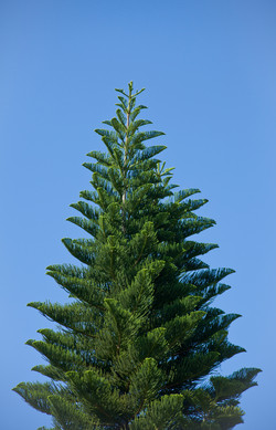 Tree top