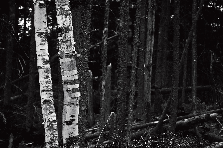 Birch-Tree-2