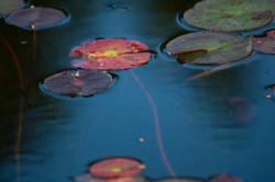 Lilly Pads #2