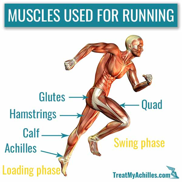 The running action is divided into the loading phase and swing phase. The Glutes, hamstrings, calf and quad muscles are the main muscles you use during running.