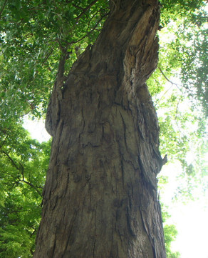 CITES newly added laws - Dalbergia Latifolia and more wood types