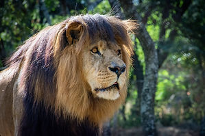 Lion And Cheetah Park Wildlife Volunteer