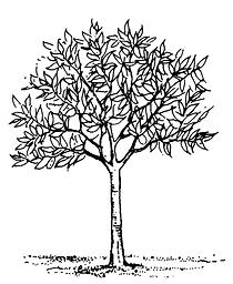 Stable tree diagram