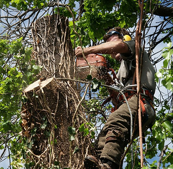Arborist chainsawing a section of tree trunk