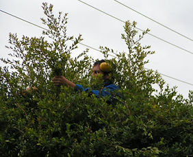Gardener trimming hedges