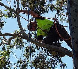 Arborist pruning a gum tree